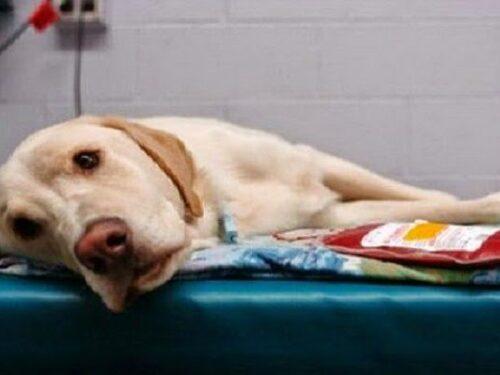 Anche i cani potranno donare il sangue per aiutare i loro amici a quattro zampe