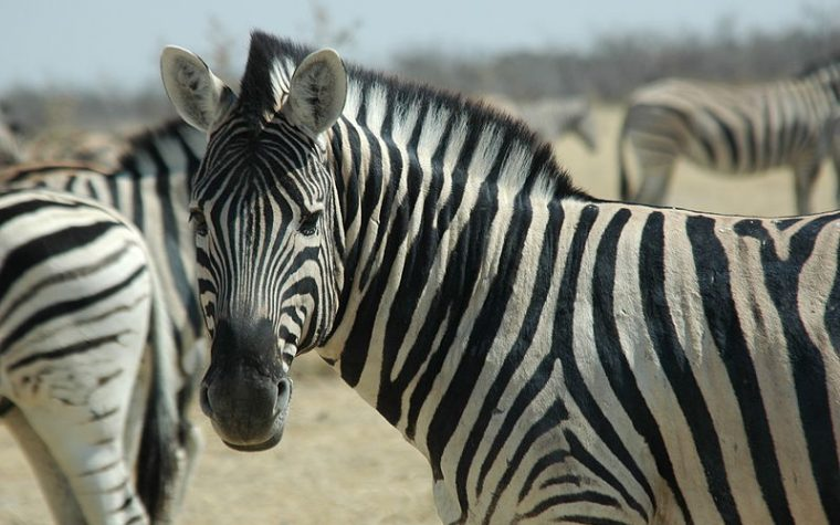 Perchè le zebre hanno le strisce bianconere? Il motivo è sorprendente