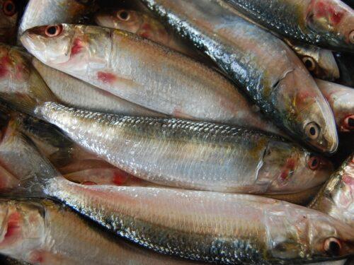 Sardine, grazie a movimento aumentata vendita del pesce