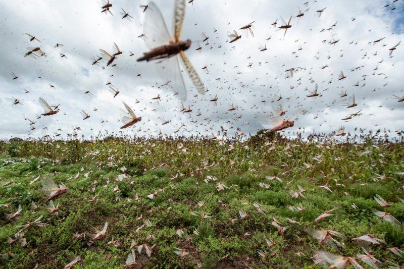 Non solo Coronavirus, invasione locuste si sta avvicinando: quali rischi