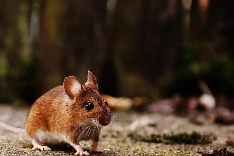 Da Hong Kong nuovo Virus che trasmette Epatite E da topo a uomo, in cosa consiste