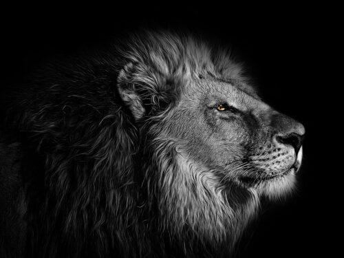 Anche il Re della Foresta in via di estinzione: le cause