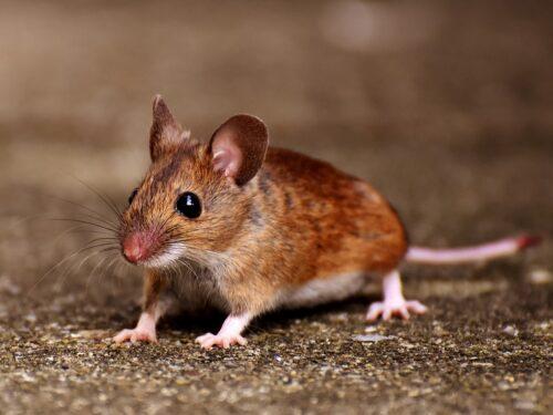 Febbre da topo arriva in Italia: quali sintomi e rischi