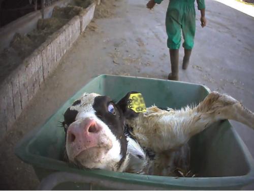 Grana Padano, nuove accuse di maltrattamenti sugli animali
